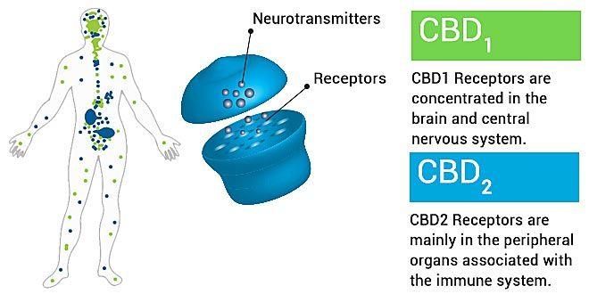 endocannabinoid-system-graphic-explained-660x330