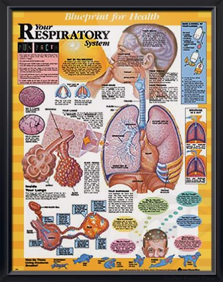 Your Respiratory System anatomy poster shows how your brain, blood vessels, nose, throat, trachea, lungs and diaphragm cooperate. For pediatric doctors and educators.