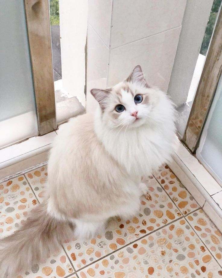Excellent Snap Shots Large Ragdoll Cats Style In 2020 Cute Cats And Kittens Cute Cats Pretty Cats