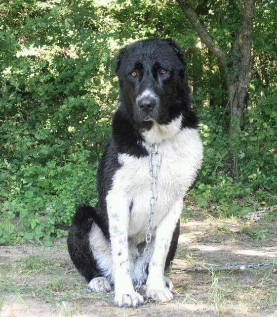 Central Asian Shepherd, Ovcharka, Dog, Zsoszur kennel
