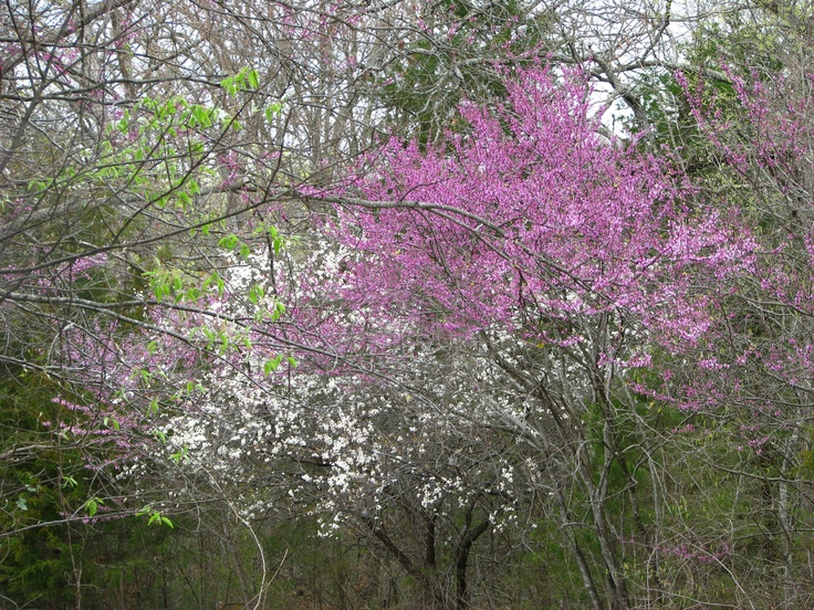 Redbud and dog wood trees in bloom = signals springtime in Indiana.
