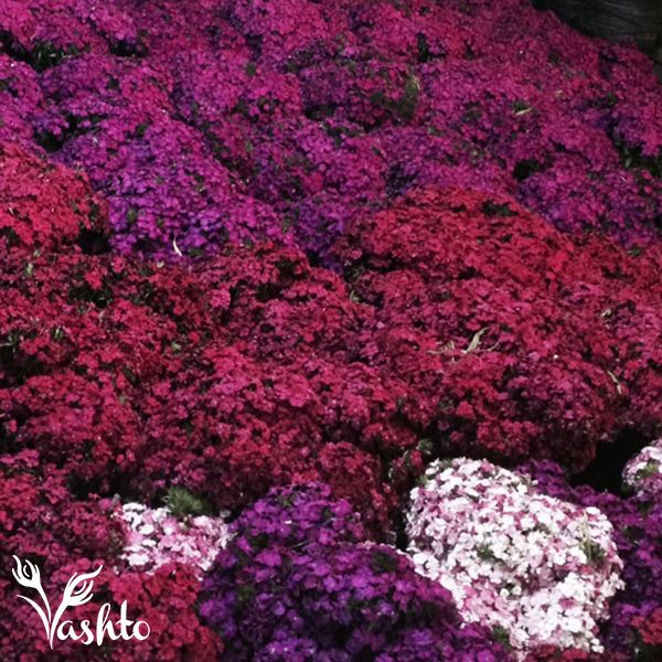 SWEET WILLIAM DIANTHUS - These flower in Winter and Spring from the beginning of June to October. They come in various colours Cerise, Red and Pink and White Bi Colour. They are used for straight lines and bouquets.