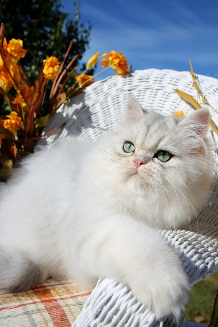 Silver Persian Kittens For Sale Persian kittens, Teacup