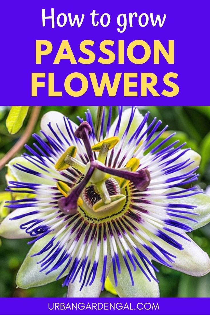 How To Grow Passion Flowers Passion Fruit Flower Passion Flower Passion Flower Plant