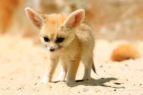 Fennec Fox Cub (by TenPinPhil). This exists. Somewhere. Must find & cuddle, hard.