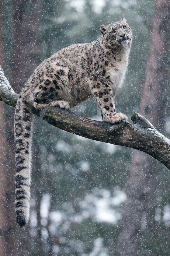 Snow Leopards have one of the longest cat tails and is used often.