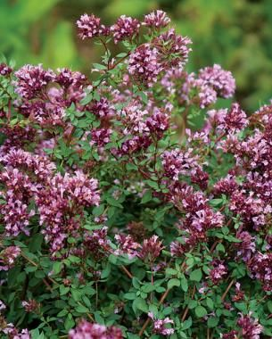 17 best images about garden on pinterest shrubs for Perennial ground cover with pink flowers