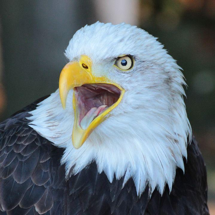 Resultado de imagen para eagle bird