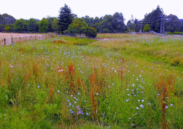 A wildflower meadow in New Zealand.