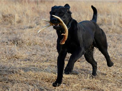 Shed Hunting, Part 2: Help Your Dog Help You   SportDOG
