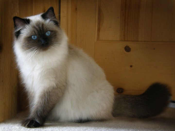 Ragdoll Cats and Kittens, Colorado, Colorado Ragdoll Cats