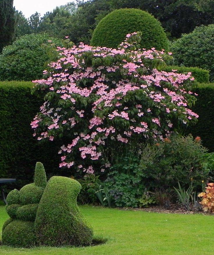 cornus kousa 39 satomi 39 bingerden the netherlands 2015 my plant log pinterest gardens. Black Bedroom Furniture Sets. Home Design Ideas