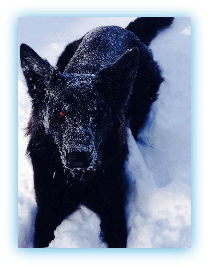 Best Black Chubby Adorable Dog - bdd258bb121703389dacdf609a0ad227--black-german-shepherds-german-shepherd-dogs  You Should Have_136140  .jpg