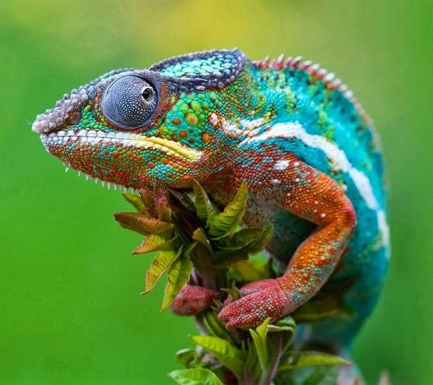 Un estudio de la Universidad de Ginebra ha revelado el mecanismo que permite a los camaleones llevar a cabo su característico despliegue de colores vívidos.