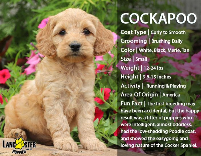 Pin By Marilyn Carter On Cockapoo Cockapoo Puppies Hypoallergenic Dogs Pets Dogs Breeds