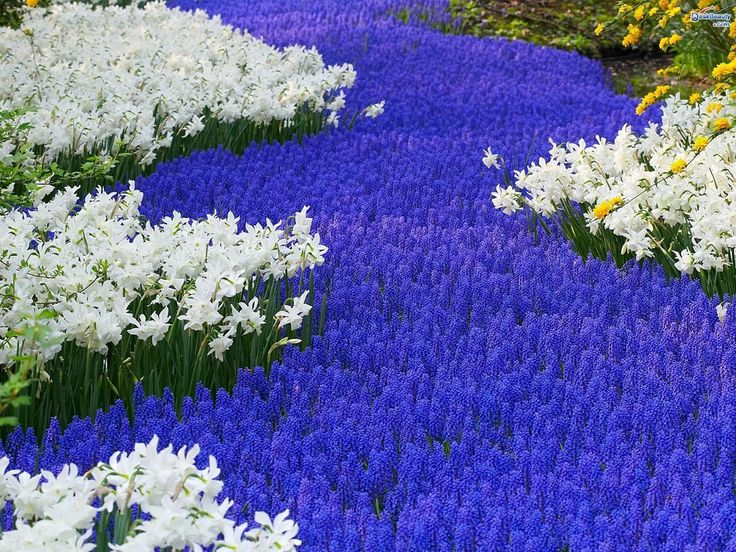Muscari Armeniacum (Grape Hyacinths)