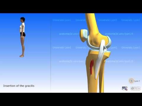 The sartorius and the muscles of the pes anserinus - YouTube