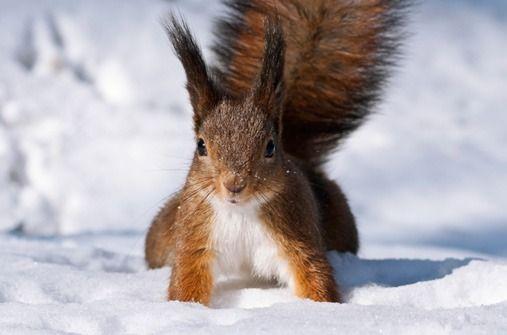 Unsere Tiere im Winter: Eichhörnchen