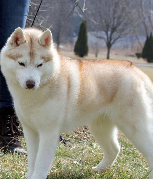 Siberian Husky White Malamute Husky Siberian Husky Dog Pet Resort
