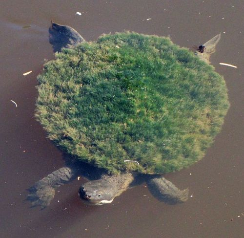 Softshell turtle with a coat of algae. Perhaps no man is an island, but some turtles are.
