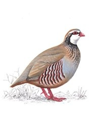 Larger than the grey partridge, it has a large white chin and throat patch, bordered with black. It has a greyish body with bold black flank stripes, and a chestnut-sided tail. It is an introduced species, brought to the UK from continental Europe, where it is largely found in France and Spain.