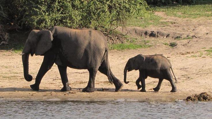 [VÍDEO] Los padres que corren a salvar al #bebé elefante que cayó en un estanque