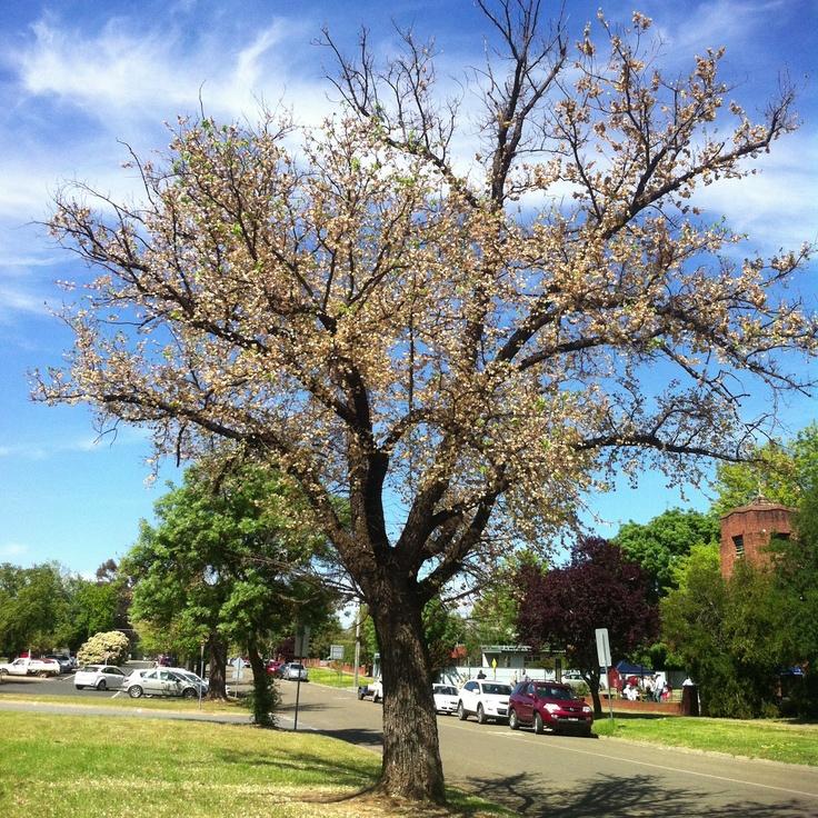 Spring time tree - Mansfield Vic Australia