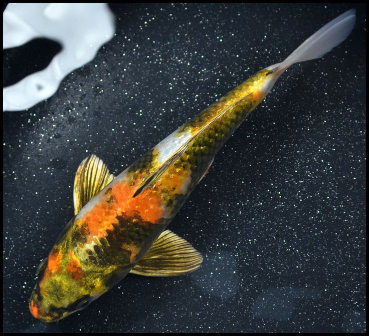 17 best images about koi pond on pinterest leaves fish for Koi fish australia