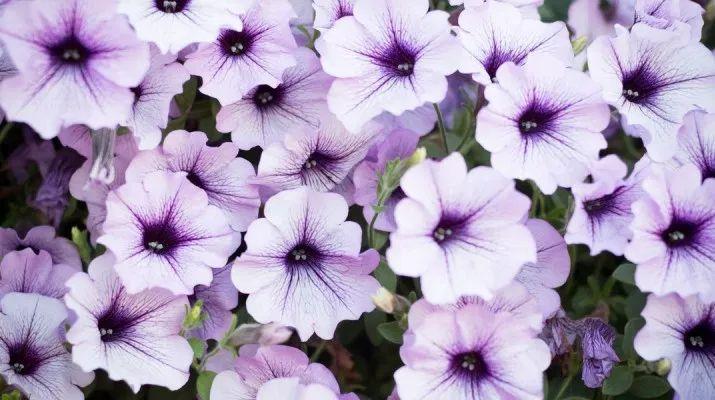 Petunias Roxa Perennials In 2020 Wave Petunias Petunia Flower Petunia Plant