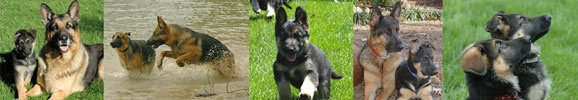 Information about the German Shepherd Dog and German Shepherd Puppies including the German Shepherd Breed Standard