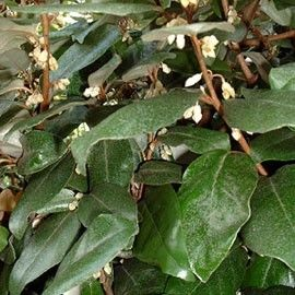 Chalef ebbengei - Plantes et Jardins
