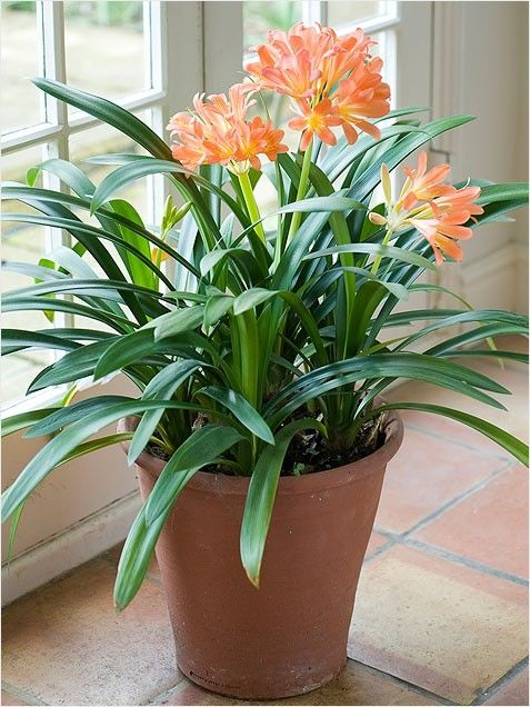 Beautiful Flowering Indoor Plant