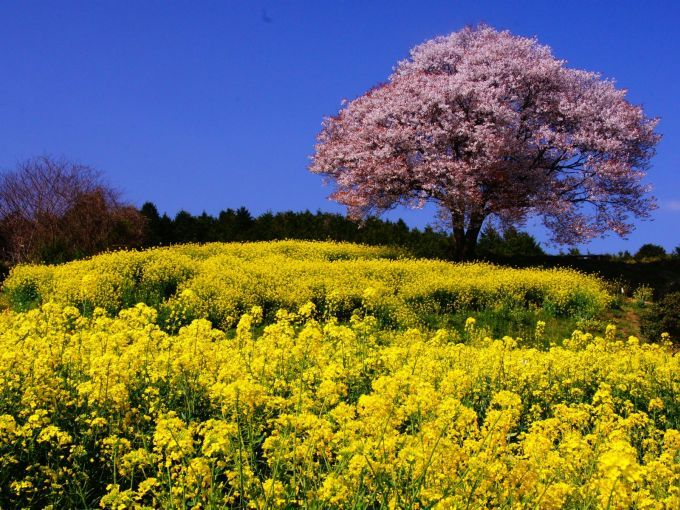 cherry blossoms and flowers of canola 春丘の彩り(佐賀県 武雄市 馬場の山桜)