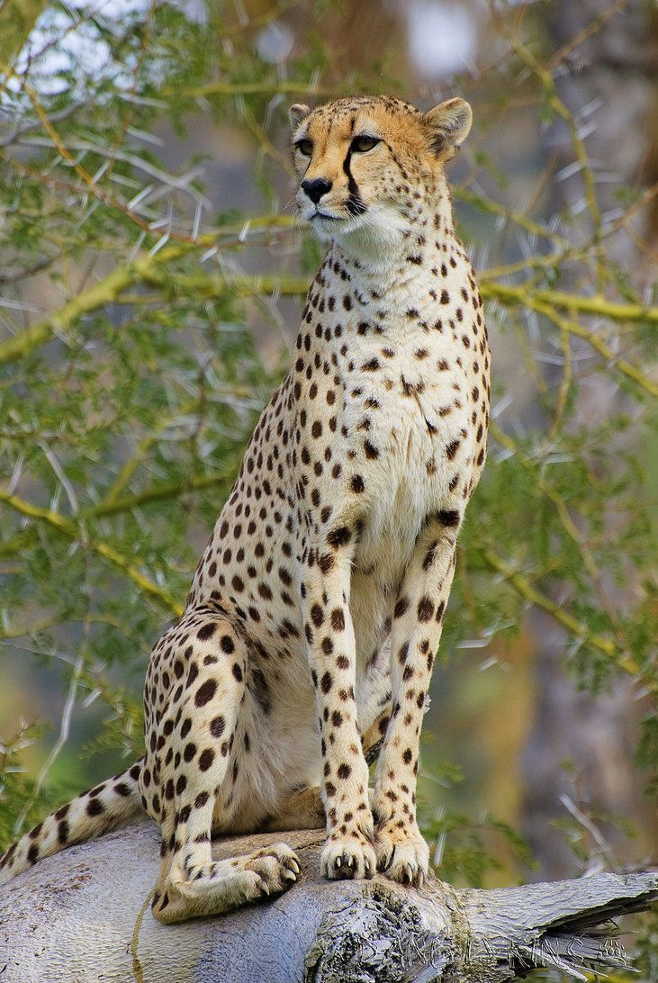 an introduction to cheetahs the fastest of felines Cheetah are tall, they are not big cats they are about the same size, over all, as the mountain lion (aka cougar, felis concolor)  the cheetah is the fastest.
