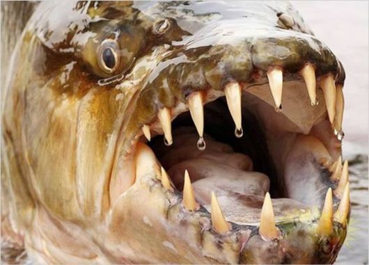 Deadly Fish | one of the most dangerous freshwater fish is now considered goliath ...