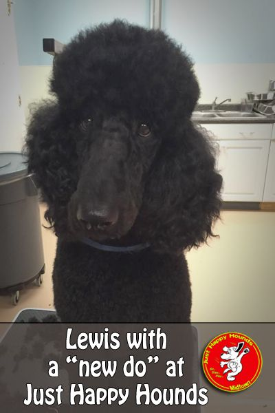 7 best dog grooming images on pinterest dog grooming dog lewis with a new do at just happy hounds doggie daycare and boarding center solutioingenieria