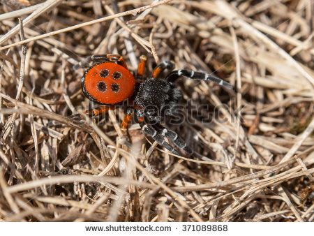 Eresus moravicus - Red lady bird spider, a venomous but protected spider, picture of a male searching female in its natural environment.