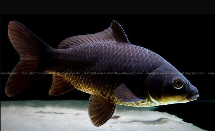 Goldfish black comet goldfish for the pond pinterest for Comet pond fish