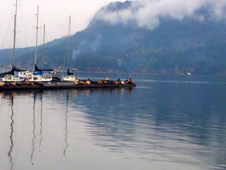 Sea Lions make their annual extended stop at #CowBayVillage Vancouver Island, lounging on the dock of the #OceanfrontSuitesatCowichanBay. A sight to see. Check out our blog. #explorebc  http://bit.ly/1t8rzmX
