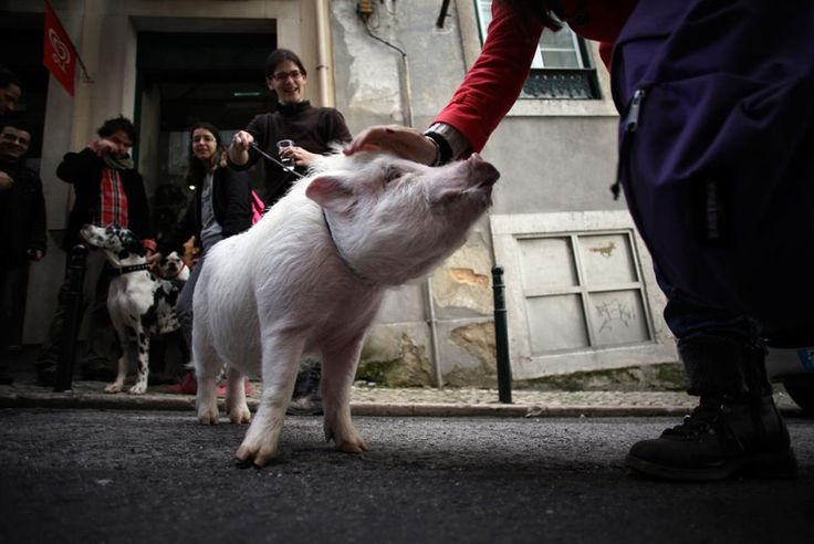 "A woman stops to pat ""Manchas"" or ""Spots"", a pet pig being walked by its owner Claudia Botas in Lisbon's Graca neighborhood. (Francisco Seco/AP)"