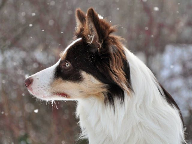 The most intelligent dog, a border collie.