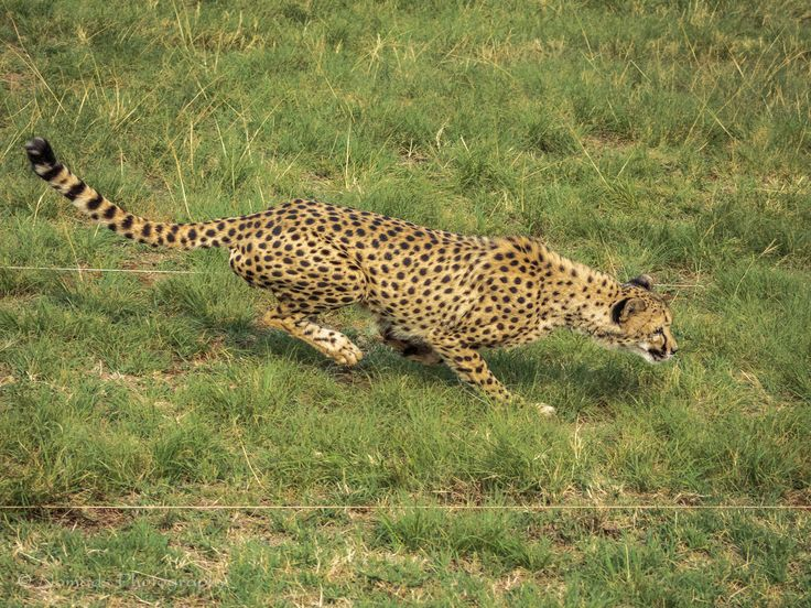 Extended - The Cheetah is credited as being the fastest land animal over short distances, and can reach speeds of up to 90 km/h (55.9 m/h) in pursuit of prey. This cat is characterized by a slender body, long legs, and a distinctly rounded head with small rounded ears which are set wide apart.