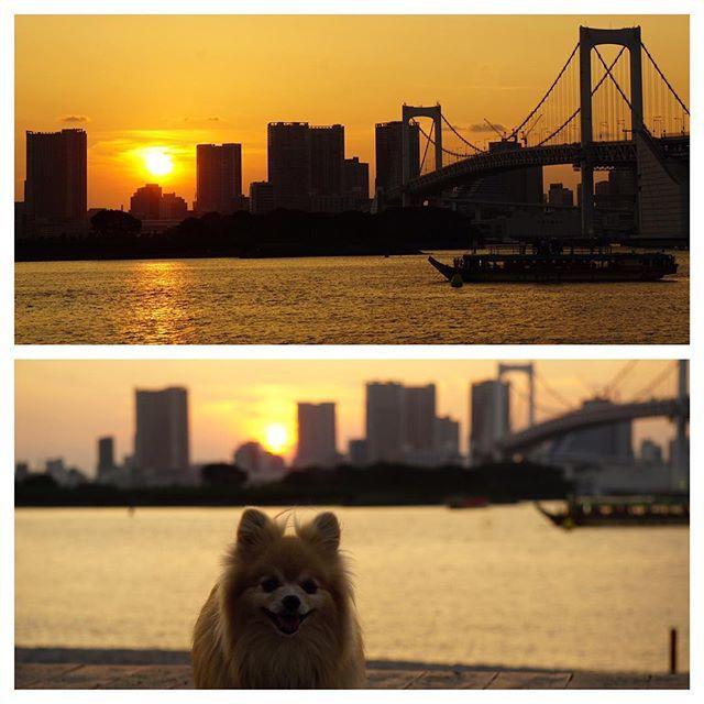 ♡きらりんと沈む夕日を見たよ♪ ♡ ♡ #ポメヨン#パピポメ#ふわもこ部 #ワンコなしでは生きて行けません会  #MIX犬#愛犬#犬バカ#ワンコ大好き #doglife #doglove #mixdog #dogphoto #todayswanko  #ilovedogs #pomeyon #tglinestamp#cute  #insutadog  #all_dog_japan #east_dog_japan #ig_dogphoto #お台場海浜公園#夕日