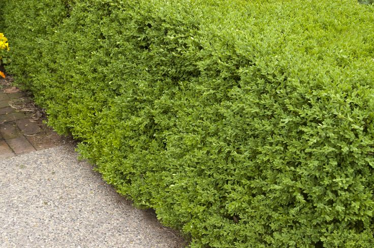 Wintergreen Boxwood is a broadleaf evergreen. Place a few of these for a short hedge along your front walkway, or perhaps just one for a lovely accent at the border of your flower bed. You can even try your hand at pruning one of these amazing Wintergreen Boxwoods into an adorable shape to catch the eye of guests and neighbors. #garden #spring #gardenchat #trees #flowers #gardening #plants
