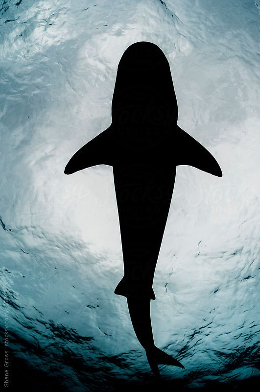 A tiger shark in silhouette.