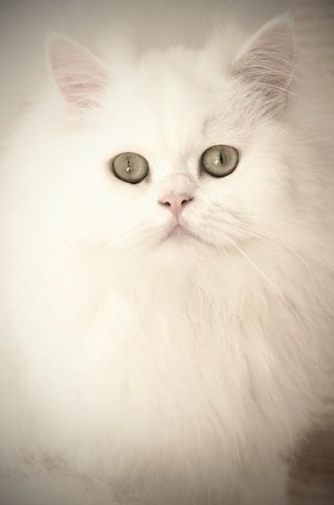 .white Persian cat. Wonderful pets. They are one person cats. I've had two.