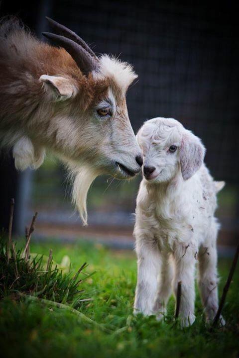 Goat and kid. #animals #goat