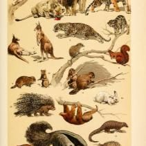 Free Vintage Illustrations of Wild Animals