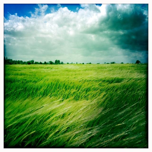 Wind blown cornfields, Dorchester on Thames, Oxfordshire.