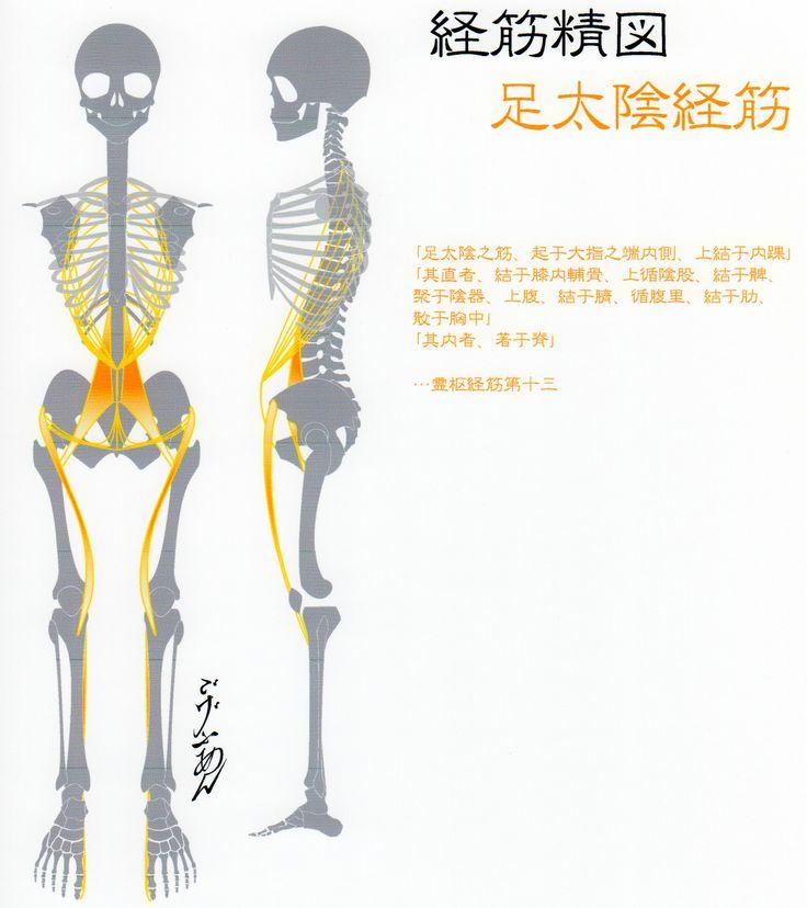 足太陰経筋(Ver2014) -Muscle meridian, Zu taiyin(Ver2014)-